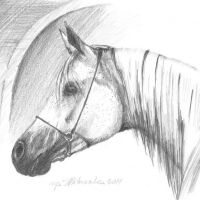 Grey arabian horse, 21x30,based on the photo made by Ewa Imielska-Hebda